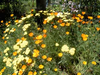 Calif. Poppies.lavender.flowers