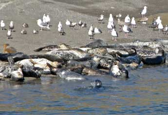 seals at Goat Rock