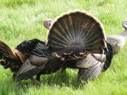 One of our Wild turkey